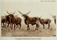 1929_vache_sixtebourbon